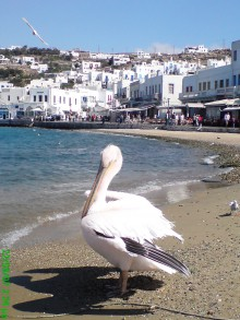 THE PELICAN OF MYKONOS