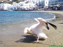 MYKONOS PORT - PETROS THE PELICAN